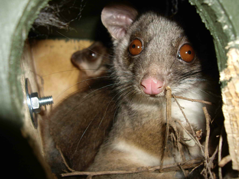 Common Ringtail Poaaum