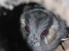 Australian Owlet Nightjar