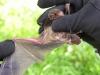 Goulds Wattle Bat