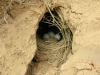 Pardalote Nest