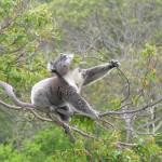 Koala Cape Otway 04122007-6 compressed