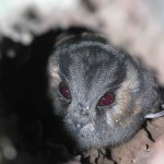 Aust Owlet Nightjar 20062007-3 compressed