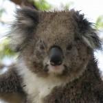 Koala Cape Otway 03122007-2 compressed