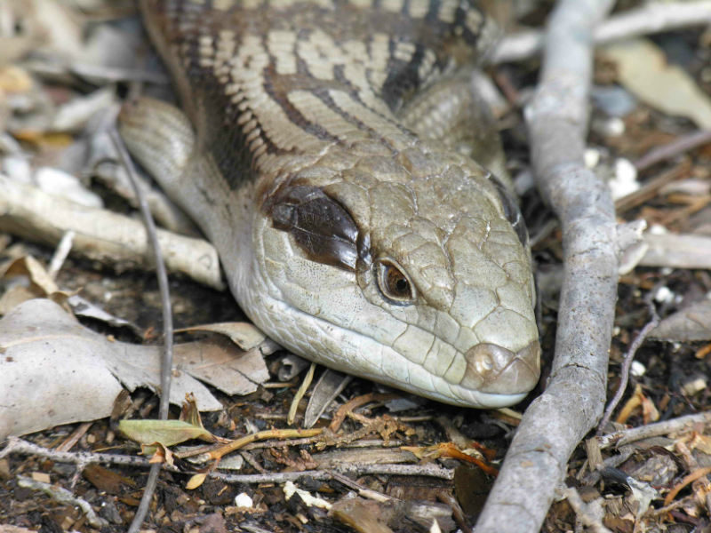 Common Blue Tongue Lizard