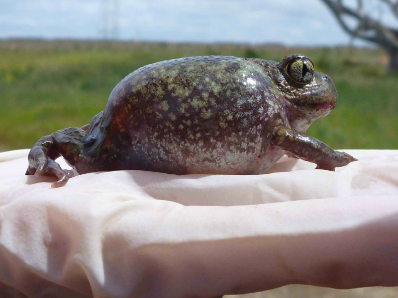 Painted Burrowing Frog
