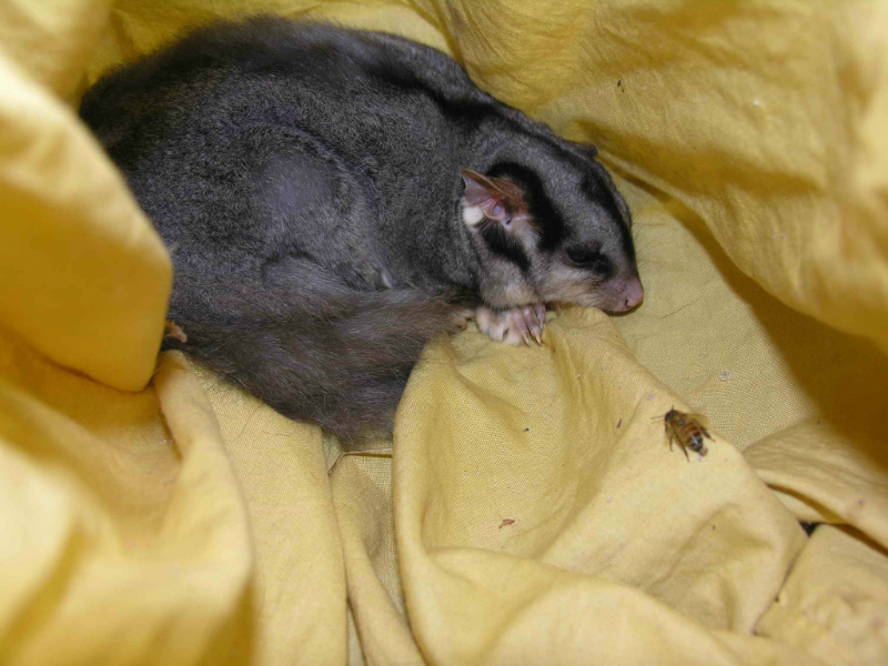 Squirrel Glider