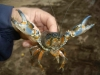 Central Highlands Spiny Cray