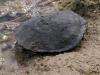 Snake-necked Turtle