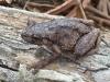 Perons Tree Frog