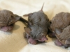 Southern Freetail Bat