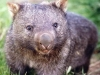 Forest Wombat