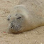 S Elephant Seal 3 compressed